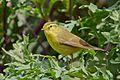 Tickell's Leaf Warbler (Phylloscopus affinis).jpg