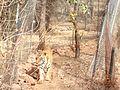 Tiger image43.jpg