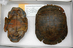 top and bottom turtle shells in a sample box with ID card