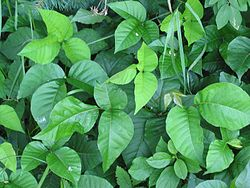 Toxicodendron radicans.jpg