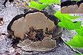 Trametes gibbosa, (Lumpy Bracket, D= Buckeltramete , F= Tramète bossue, NL= Witte bultzwam) white spores and causes white rot, growing at the underside of an older species at a Beech tree at Schaarsbergen - panoramio.jpg