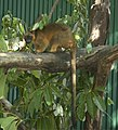 Tree-kangaroo-on-a-branch-facing.jpg