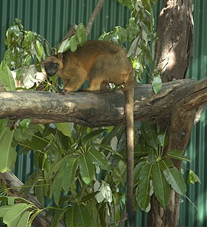 Macropodidae - Tree-kangaroos have smaller ears for easier maneuvering between tree branches, and a much longer tail.
