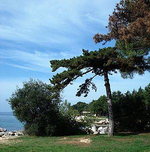 Pinus nigra tree, Poreč