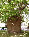 Tree at Canterbury Cathedral 01.JPG