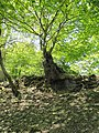 Tree on the wall - geograph.org.uk - 1328490.jpg
