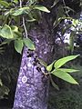 Trema orientalis fruit bark.JPG