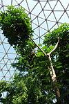 Trevesia palmata - Bloedel Floral Conservatory, Queen Elizabeth Park - Vancouver, Canada - DSC07492.JPG