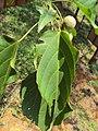 Trewia nudiflora 07.JPG
