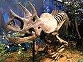 Triceratops prorsus - IMG 0697.jpg