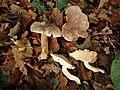 Tricholoma lascivum 516114.jpg