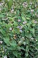 Tricyrtis formosana - Floraison.jpg