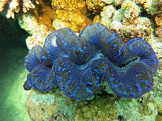 Maxima clam - Image: Tridacna maxima Thiladhoo