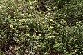 Trifolium campestre-Trèfle jaune-20160603.jpg
