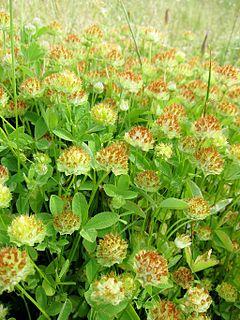 240px trifolium cyathiferum