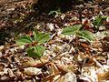Trillium erectum, parc national de la Mauricie 01.jpg