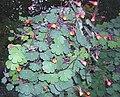 Tropaeolum tuberosum.jpg