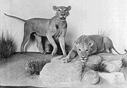 The Tsavo maneaters on display in the Field Museum of Natural History