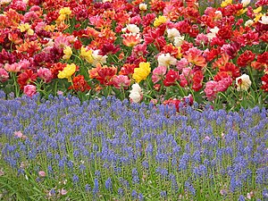Tulips from Keukenhof Gardens, Lisle, Holland.