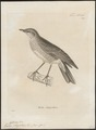Turdus chrysolaus - 1700-1880 - Print - Iconographia Zoologica - Special Collections University of Amsterdam - UBA01 IZ16300259.tif