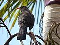 Turdus fuscater (Mirla patiamarilla) (14004053666).jpg