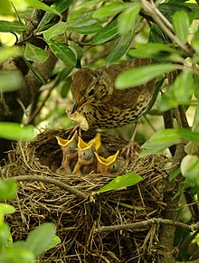 A brown spotted bird standing on the rim of a nest with food for four chicks seen with open gapes