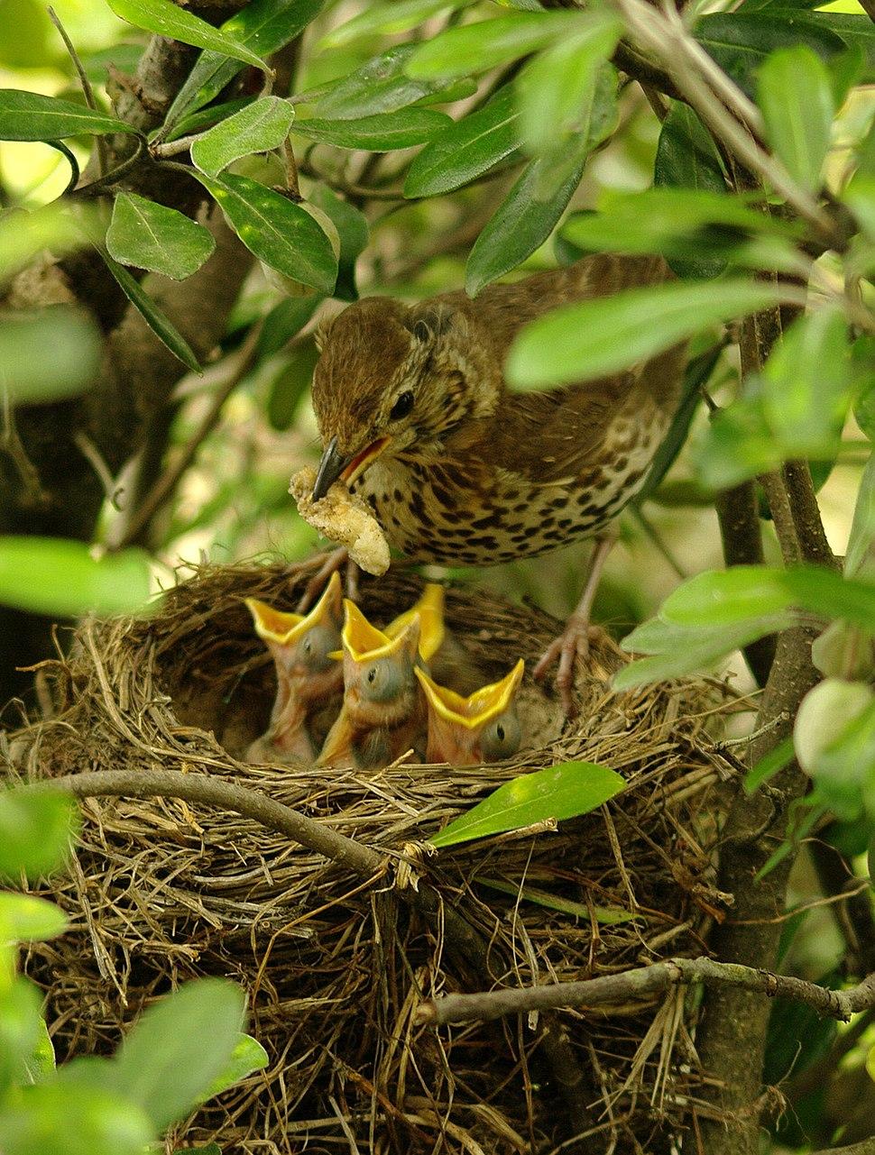 Turdus philomelos -New Zealand -nest-8 (4)