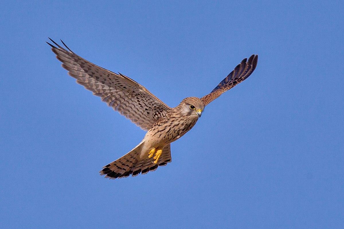 Turmfalke Falco tinnunculus.jpg