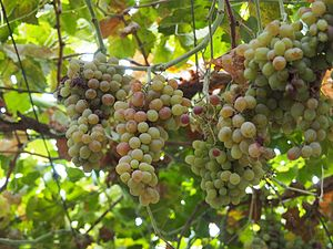 Museles - Grapes in Turpan