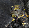 Turtle portrait (6897965511).jpg