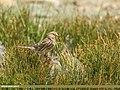 Twite (Carduelis flavirostris) (36270450086).jpg