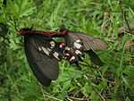 File:Two red-bodied Swallowtails mating.jpg