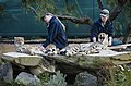 Two zookeepers with two cheetahs, Auckland zoo - 0501.jpg