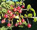 Ugni molinae, fruit (8651635743).jpg