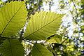Ulmus laevis leaf.JPG
