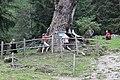 Ulten Urlärchen Baum 3 ( Nummerierung Lobis).jpg