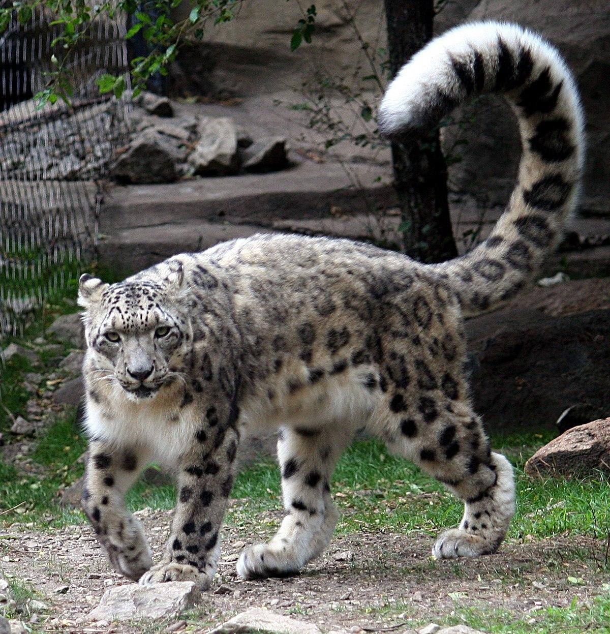 chat bengal blanc