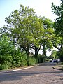Urban Oak - geograph.org.uk - 419781.jpg