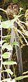 Uropsalis Lyra (Lyre-tailed Nightjar).jpg