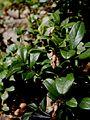 Vaccinium vitis-idaea02.jpg