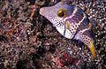 Valentin's Sharpnose Puffer Canthigaster valentini (7944352544).jpg