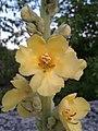 Verbascum phlomoides sl 2.jpg