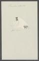Vermilia reticulata - - Print - Iconographia Zoologica - Special Collections University of Amsterdam - UBAINV0274 102 20 0023.tif