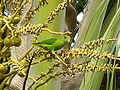 Vernal Hanging Parrot-3.jpg
