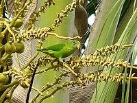 Vernal Hanging Parrot-3