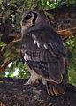 Verreaux's eagle-owl, or giant eagle owl, Bubo lacteus eating a snake at Pafuri, Kruger National Park, South Africa (20497247828).jpg