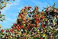 Very rich apple tree - panoramio.jpg