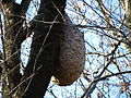 Vespa simillima Nest HungOnCherryTree02 SideView.JPG