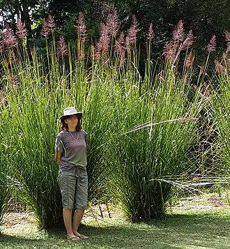 Chrysopogon zizanioides - Image: Vetiver grass