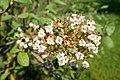 Viburnum cotinifolium kz1.jpg